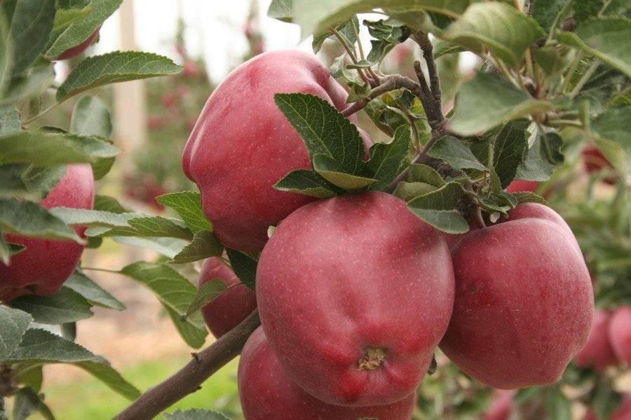 Яблоня колоновидная малюха, описание сорта, фото, отзывы, посадка и уход