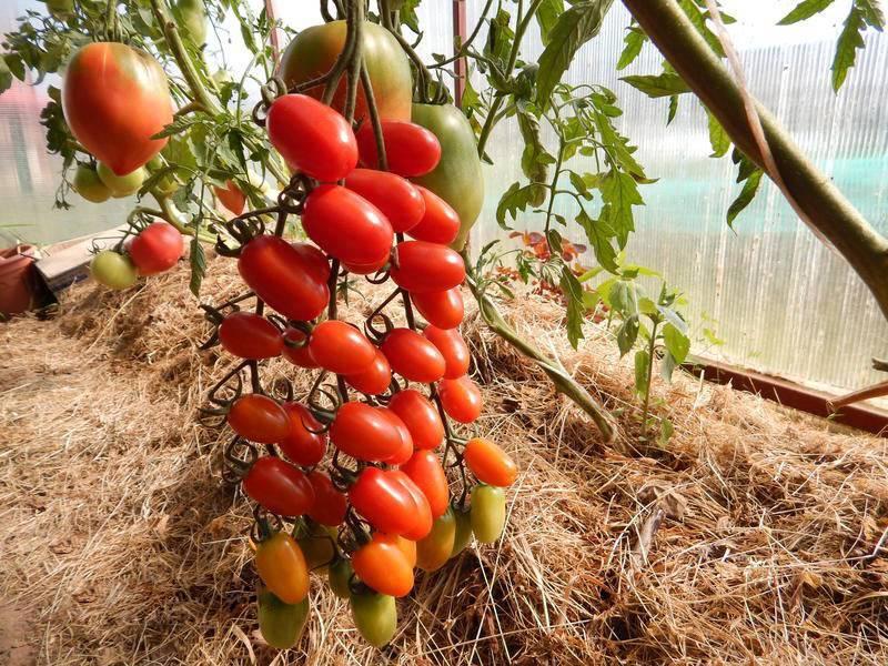 """Томат """"дамские пальчики"""": описание сорта, выращивание, характеристика и фото русский фермер"""