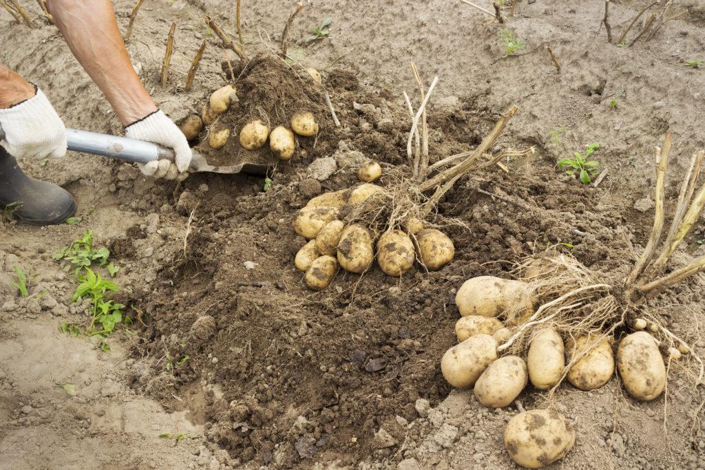 Особенности выращивания картофеля: агротехника. как вырастить картофель? фото — ботаничка.ru