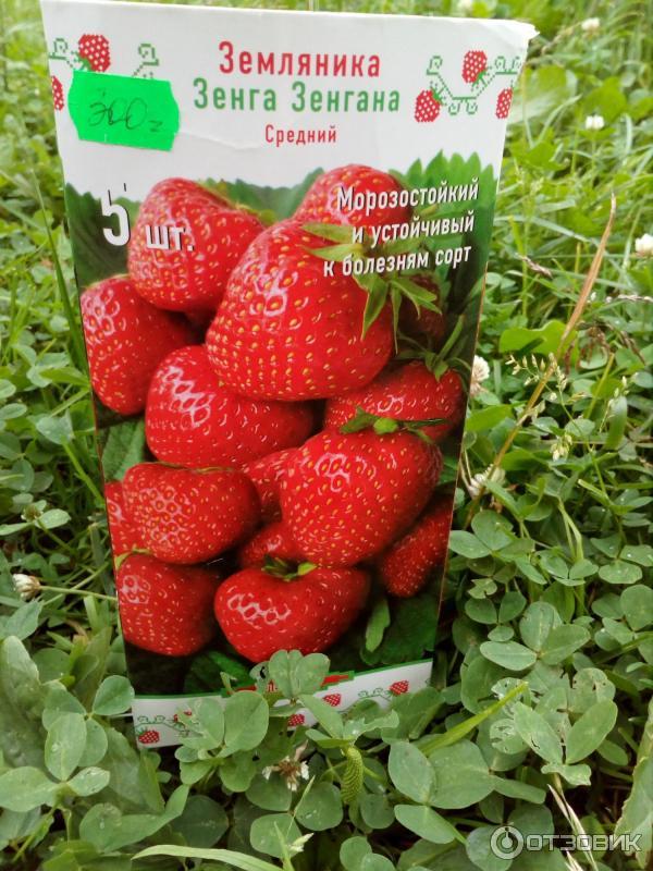 Клубника зенга зенгана | описание выращивания гибридного сорта в домашних условиях (120 фото + видео)