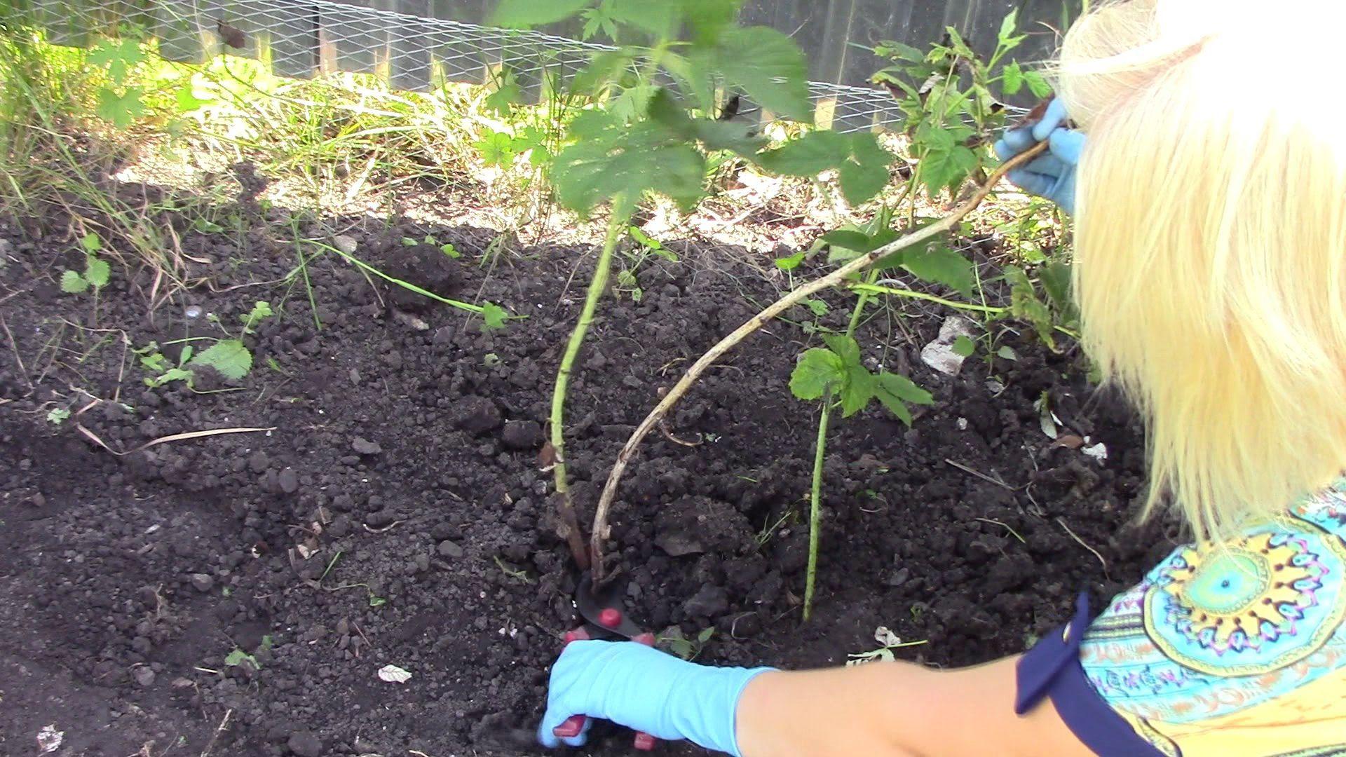 Как правильно ухаживать за ремонтантной малиной, чтобы был хороший урожай