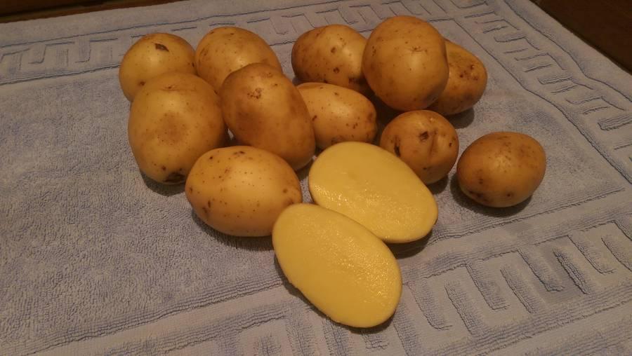 Сорт картофеля гала: секреты культивирования раннеспелой кормилицы