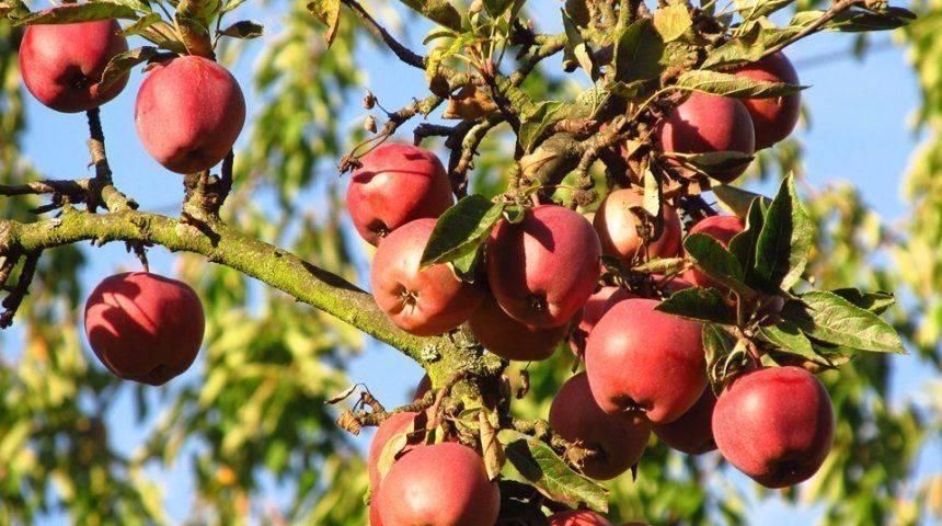 Яблоня моди: особенности сорта и ухода