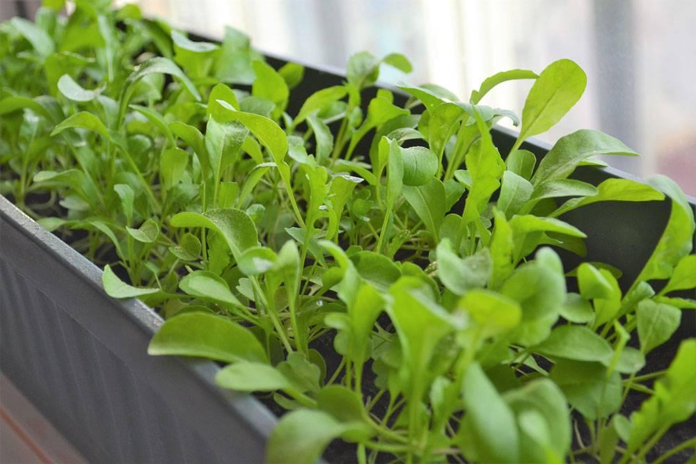 Как вырастить рукколу из семян в домашних условиях - посадка и уход