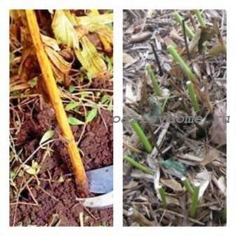 Уход за пионами осенью, подготовка к зиме, обрезка, укрытие, осенняя обработка