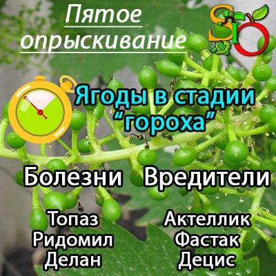 Обработка винограда в мае 2019 - подробное описание самых опасных вредителей и угроз с фотографиями больных растений, наиболее эффективные способы защиты винограда от них   теплотехники