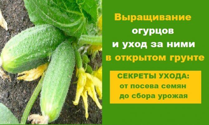 Лучшие сорта огурцов для выращивания в ленинградской области