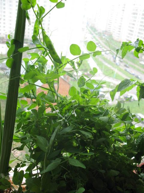 Как в домашних условиях посадить горох на подоконнике