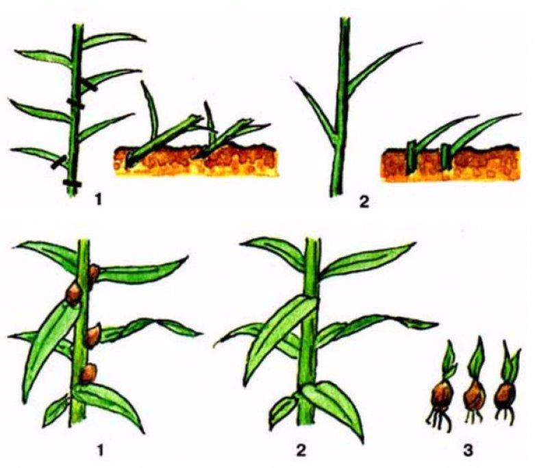 Размножение лилий чешуйками, бульбочками и черенками в домашних условиях