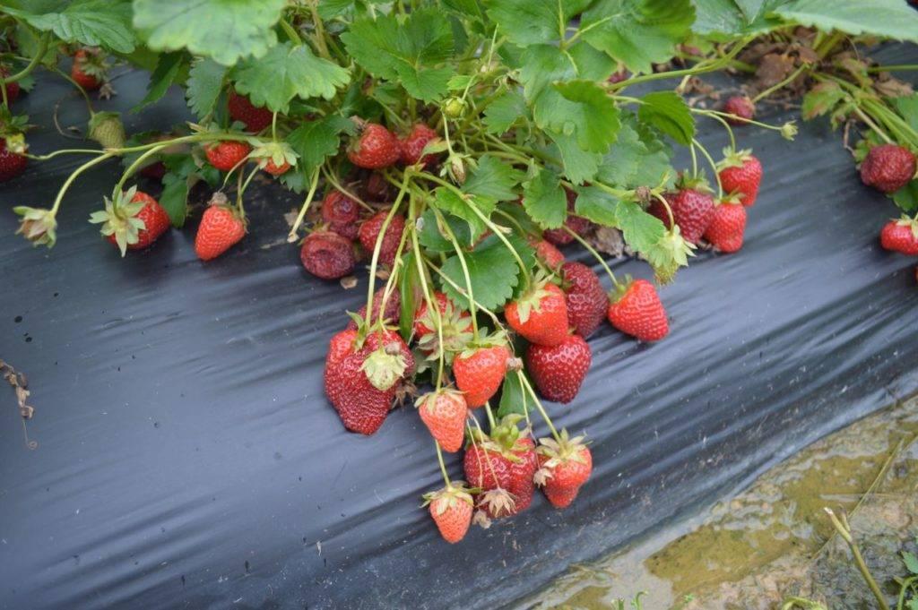 Когда клубника должна давать урожай – сроки для разных сортов
