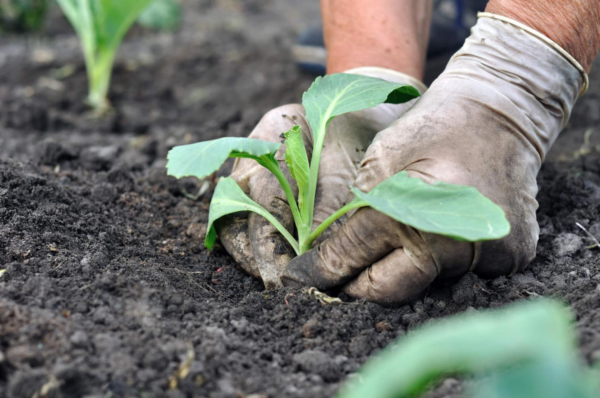 Савойская капуста: выращивание рассады, посадка и уход в открытом грунте, фото