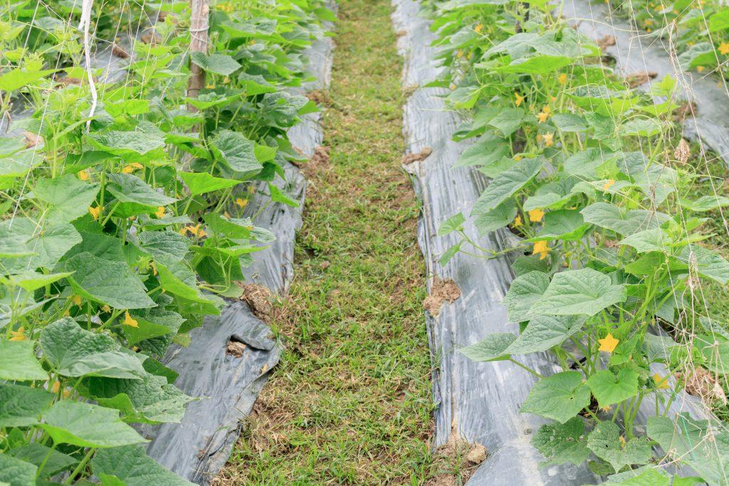 Выращивание огурцов под пленкой | советы садоводам