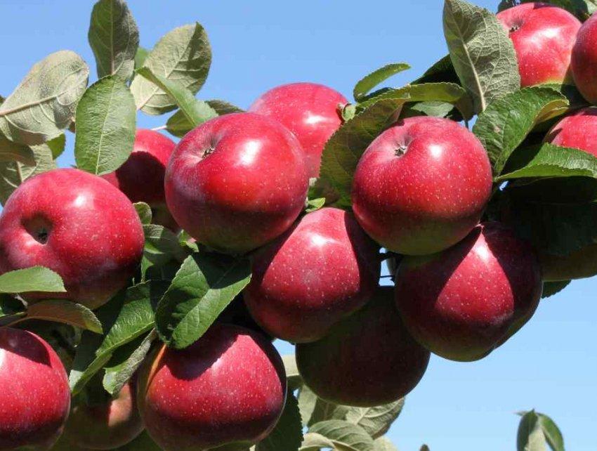 Яблоня анис свердловский: описание, фото и отзывы, посадка