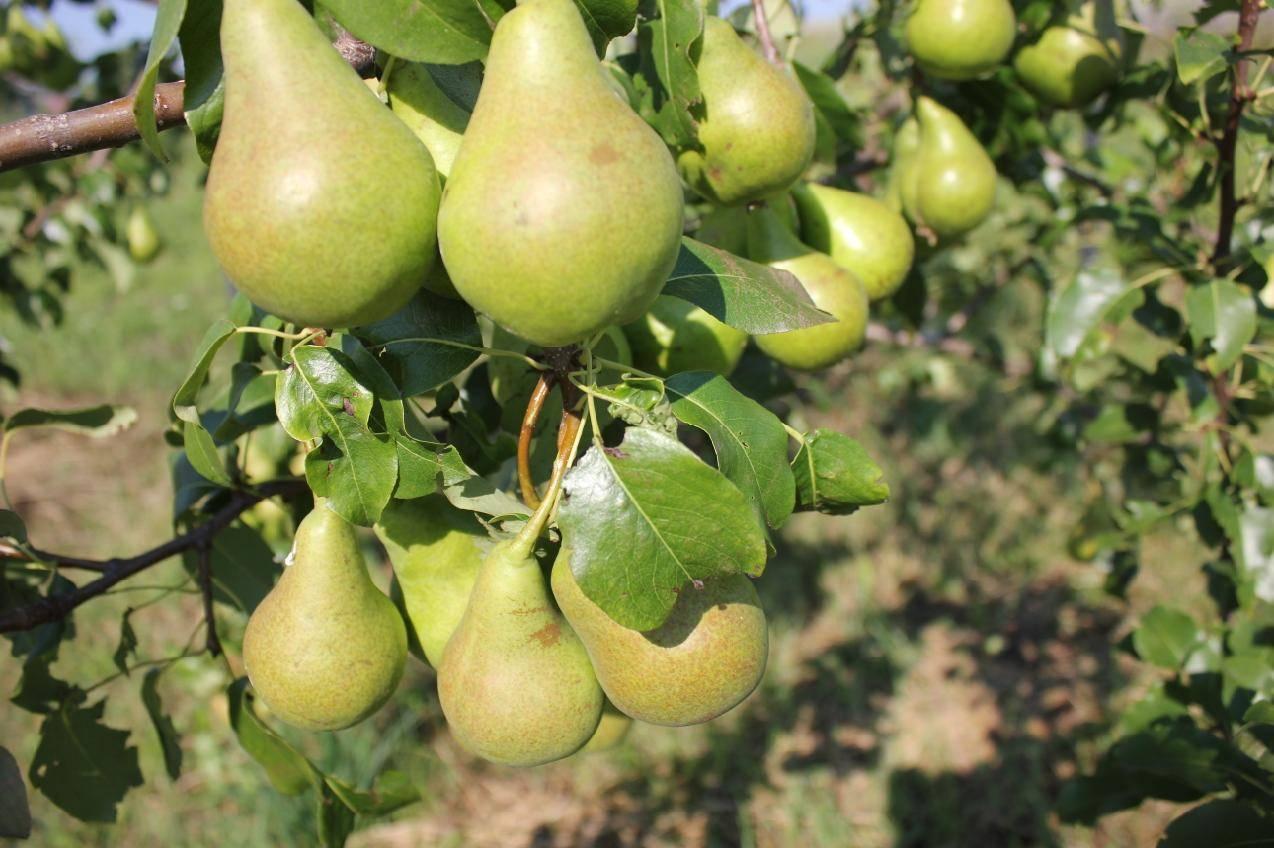 Самоплодные сорта груши: для средней полосы, нужен ли опылитель для груши памяти тимофеева, заметная и чемпион, самобесплодная