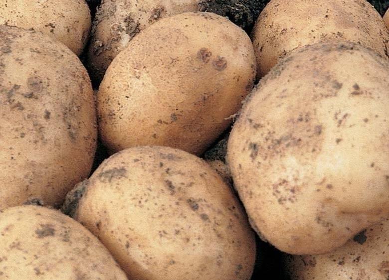 """Картофель елизавета - описание сорта, фото, отзывы, посадка и уход - журнал """"совхозик"""""""