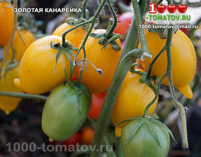 Томат оранжевый русский: характеристика и описание индетерминантного сорта с фото