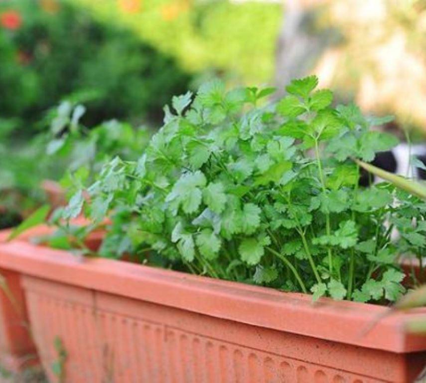 Секреты выращивания петрушки дома на подоконнике из семян и корнеплодов. какие сорта лучше использовать?