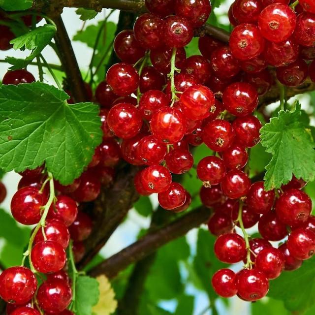 Смородина красная ранняя: всё о сорте, особенности посадки и выращивания