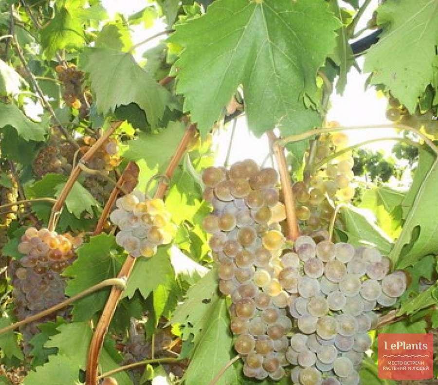 Основные сорта винограда на дону