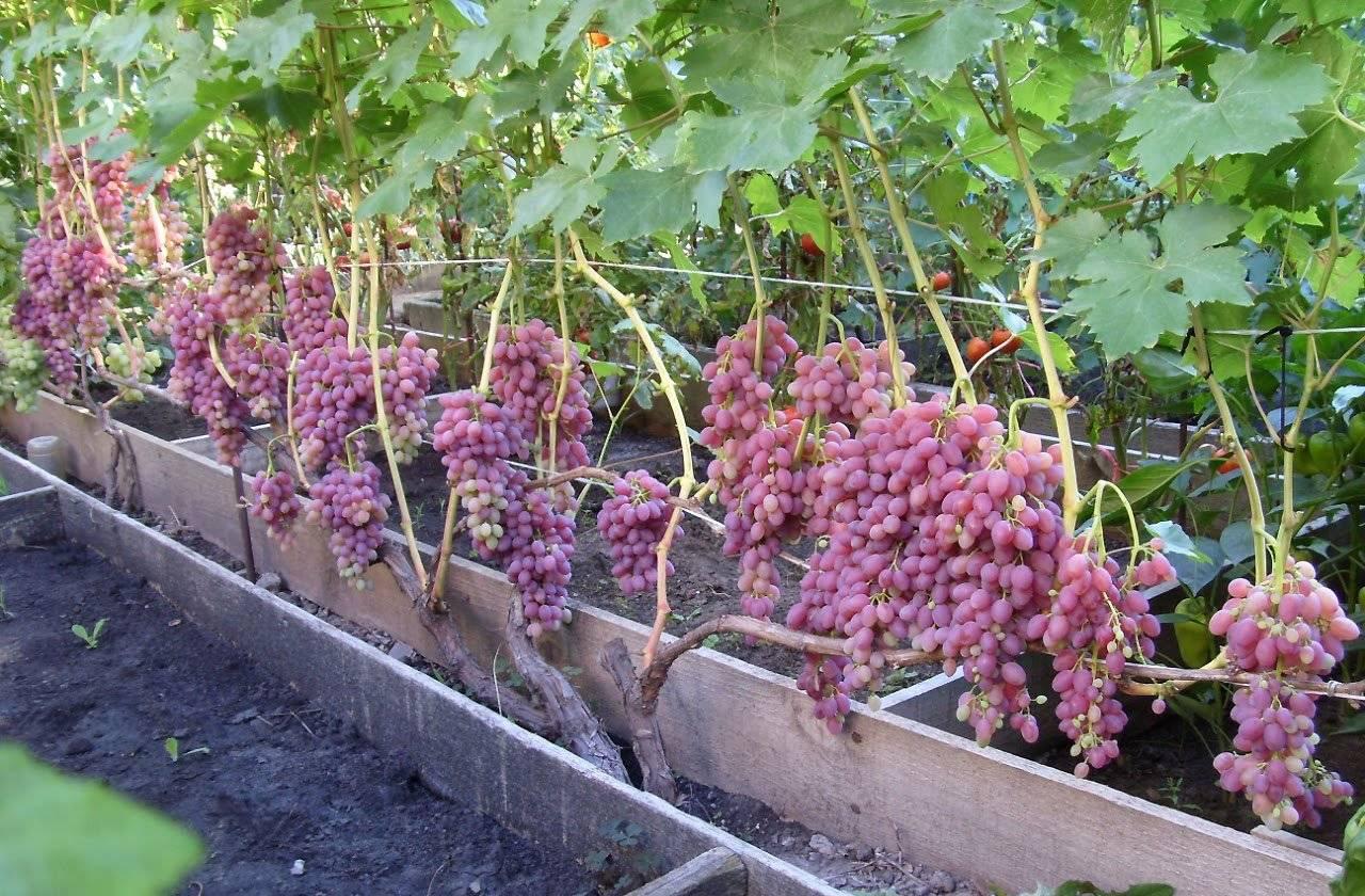 Как выращивать виноград: правила посадки, ухода и выращивания, особенности удобрения и обрезки