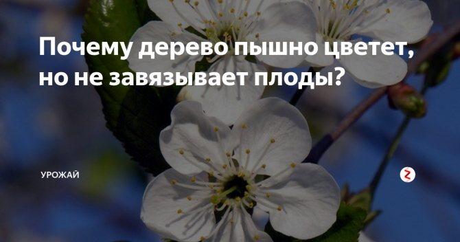 Почему не плодоносит вишня: причины и что делать? топ методы
