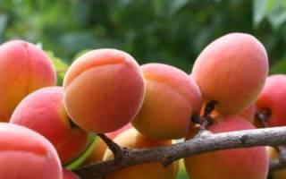 Абрикос лель: описание морозостойкого сорта, правила посадки и дальнейшего ухода за деревьями