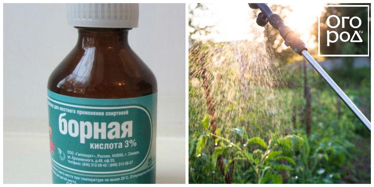 Борная кислота - применение в огороде. признаки недостатка бора