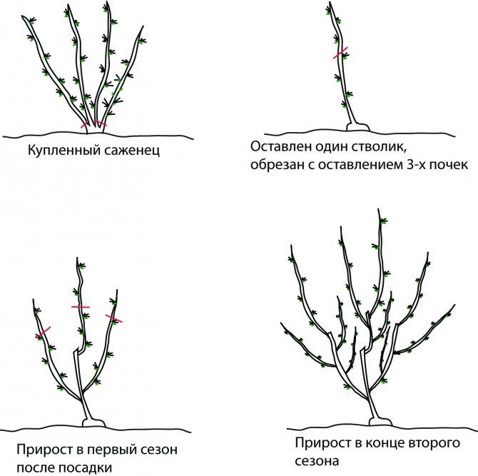 Кустовая вишня: посадка и правильная обрезка растения