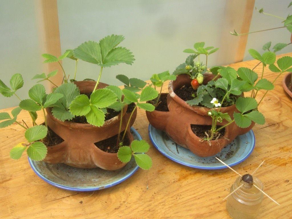 Выращивание клубники в горшках