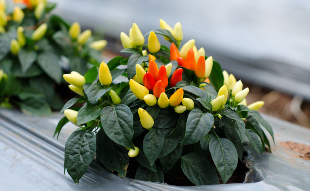Описание лучших сортов декоративного перца, выращивание и уход в домашних условиях