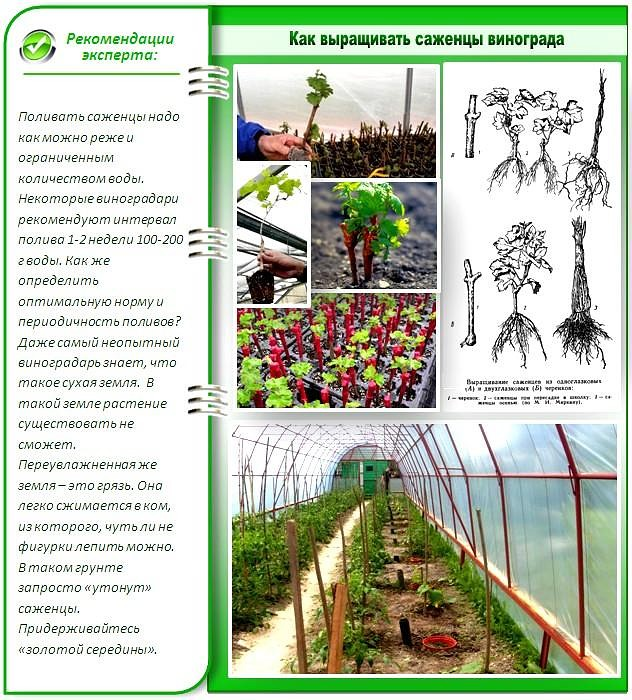 Выращивание винограда в средней полосе — вполне возможно и для начинающих