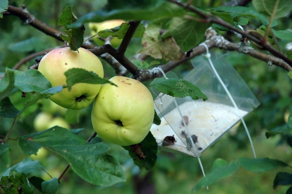 Вредители яблонь: борьба, обработка, опрыскивание