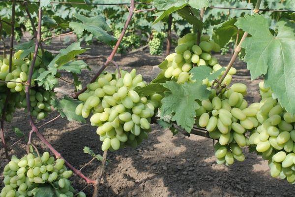 Виноград ландыш: описание и характеристика сорта + посадка и уход