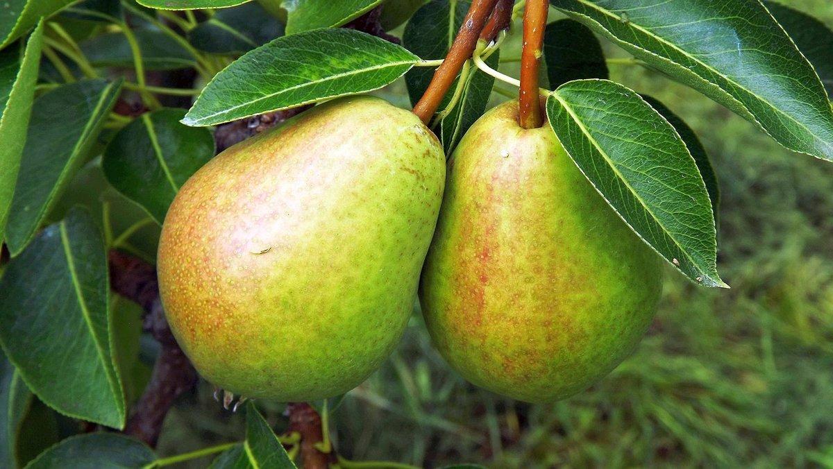 Сорта самых сладких и сочных груш - какие сорта самые вкусные, сладкие и крупные, описание и характеристики