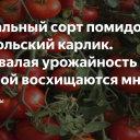 Низкорослый сорт для дачников-новичков – томат «монгольский карлик»: описание сорта и отзывы о его выращивании