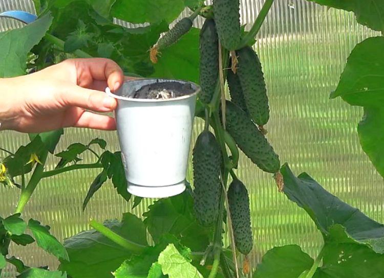 Чем подкормить огурцы в период плодоношения для увеличения урожая в два раза, советы бывалых садоводов