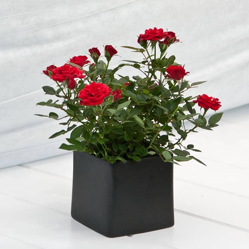 Комнатные розы — секреты успеха