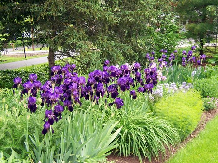 С какими цветами сочетаются ирисы на клумбе: с чем посадить рядом