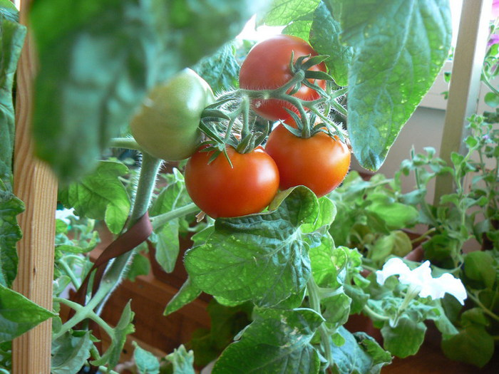 Выращивание томатов в горшках: плюсы и минусы огорода над землей, а также как выбрать подходящие сорта помидоров для посадки и каким образом получить хороший урожай? русский фермер