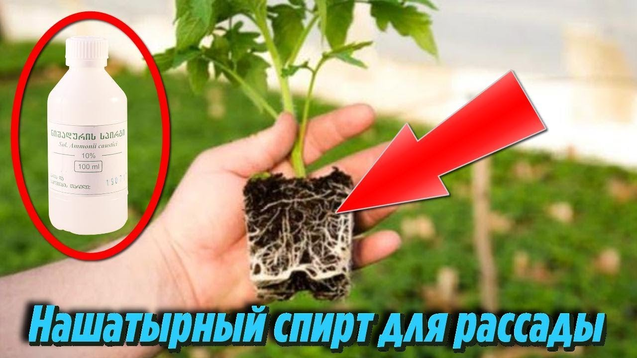 Нашатырный спирт для сада и огорода: удобрение и защита от вредителей. | красивый дом и сад
