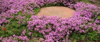 Тимьян ползучий: посадка и уход в открытом грунте, выращивание, отзывы