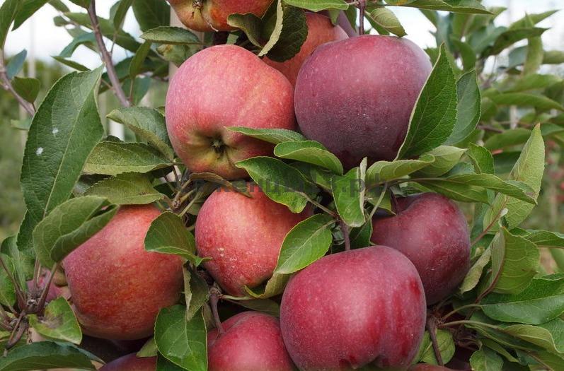Сорт яблони августа, описание, характеристика и отзывы, а также особенности выращивания данного сорта
