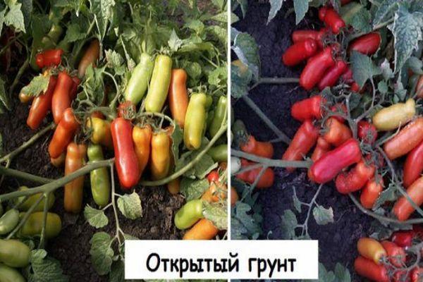 Томат гном – отзывы садоводов и описание сорта