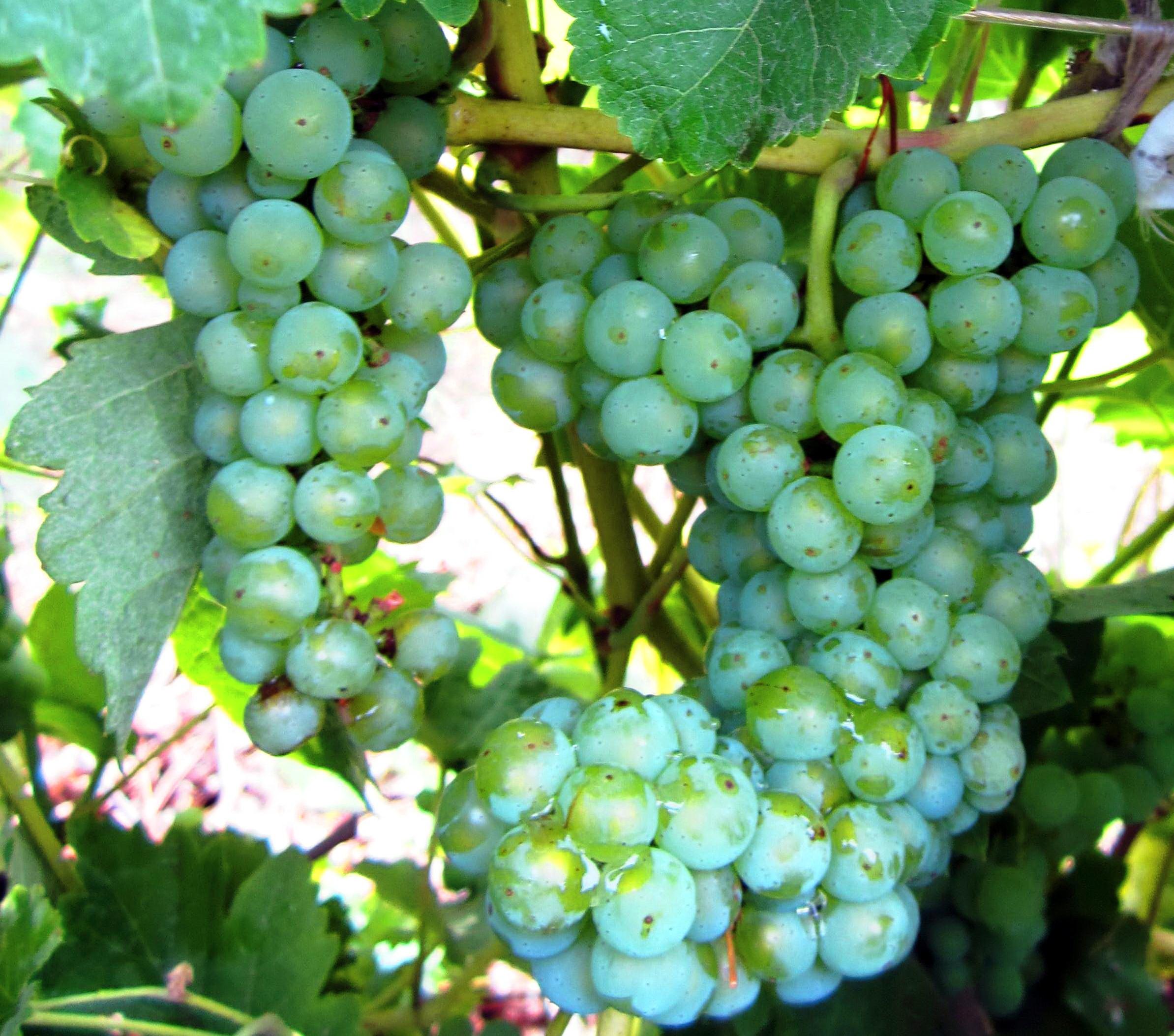 Виноград ливия: описание и характеристика раннего сорта с высокими вкусовыми характеристиками