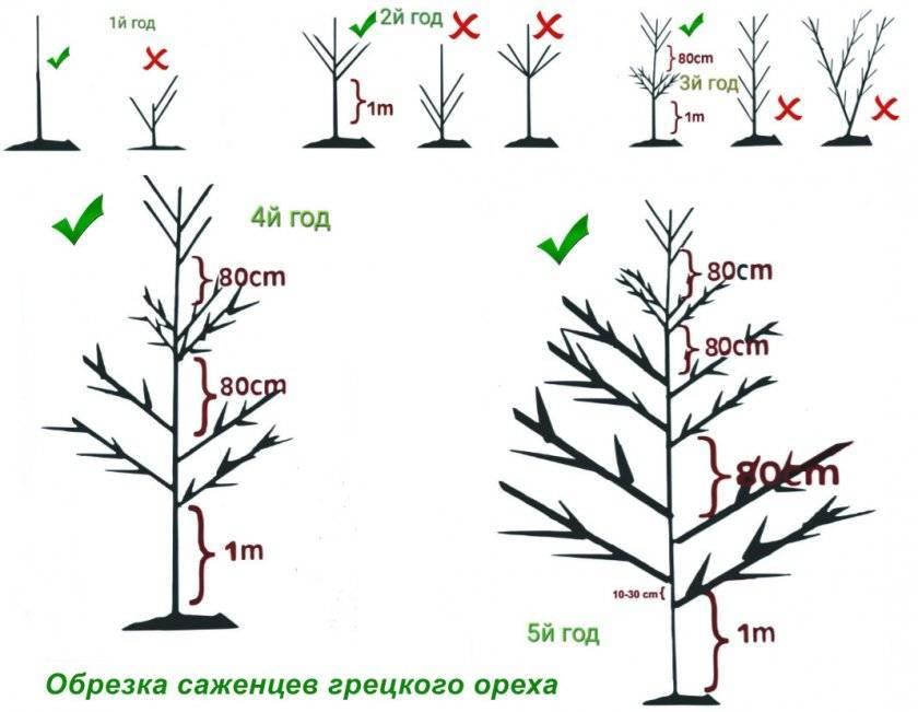 Особенности обрезки колоновидных яблонь осенью