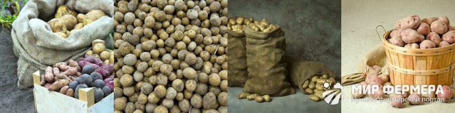 Как сохранить картофель без погреба, например, в земле: как быть, если нет подвала, куда поместить клубни, чтобы они долежали зимой до весны