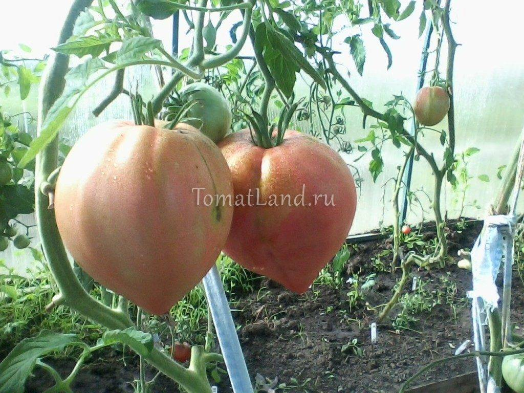 Неприхотливый томат «русская душа» — описание сорта, достоинства и недостатки, особенности