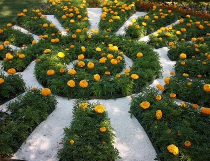 Бархатцы: фото цветов на клумбе – как красиво посадить с петуниями и другими на даче, оформление в саду
