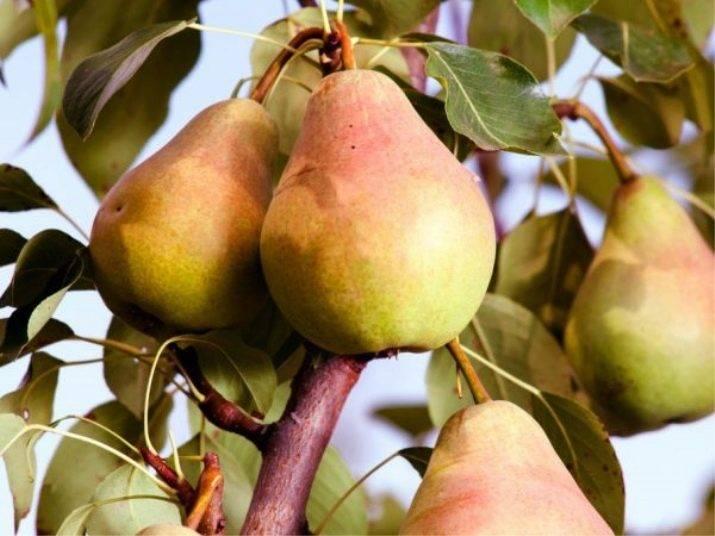 Груша августовская роса: описание сорта, фото, отзывы, опылители, выращивание, посадка и уход за плодовым деревом