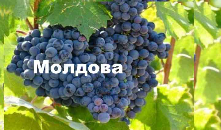 Девичий виноград - посадка и уход, размножение, виды